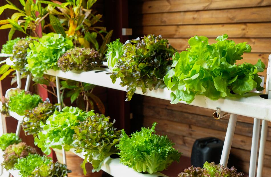 Hydroponics can be a great space-saver in the greenhouse, but it pays to remember that the higher...