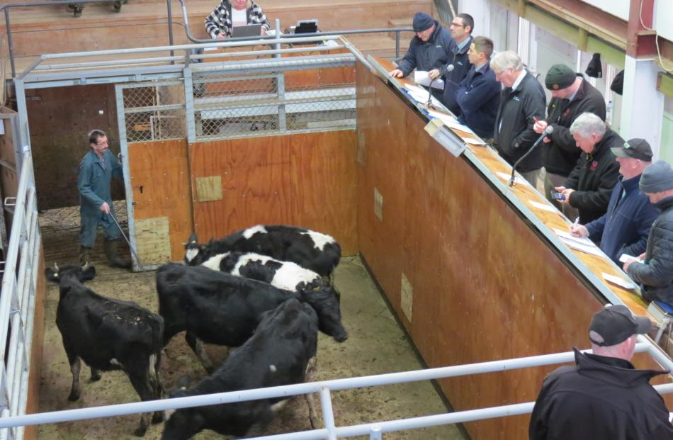 Auctioneers from various companies and a couple of potential buyers watch cattle brought into the...