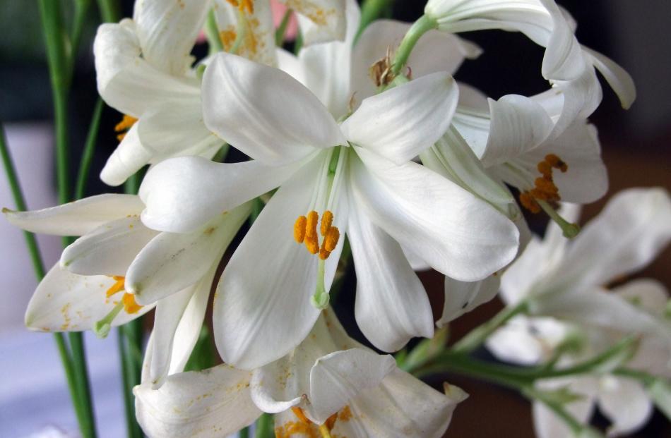 The original Christmas lily is the Madonna (Lilium candidum).