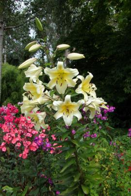 Conca d'Or is a popular choice for those who like tall and stately blooms.