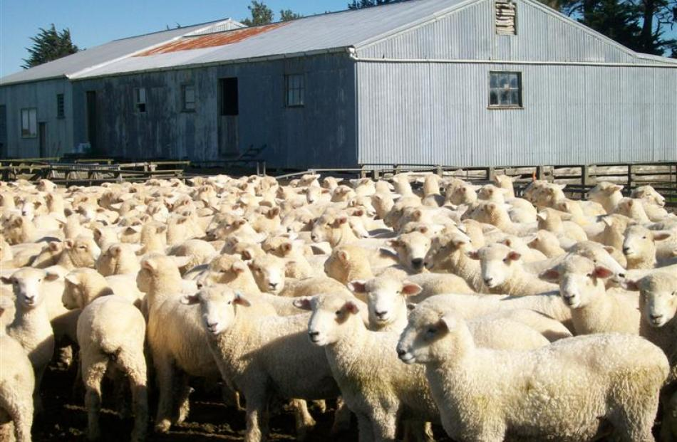 Romney hoggets belonging to Adrian and Anne Lawson. Photo by Anne Lawson.