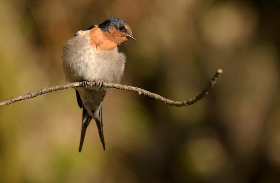 A welcome swallow. Photo: Craig McKenzie