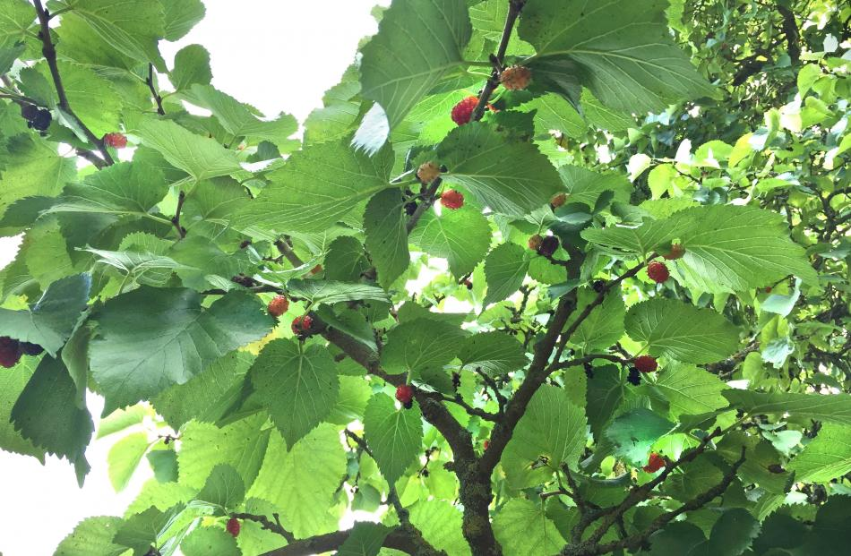 Mulberries ripen in succession, not all at once. Photo: Bettina Vine