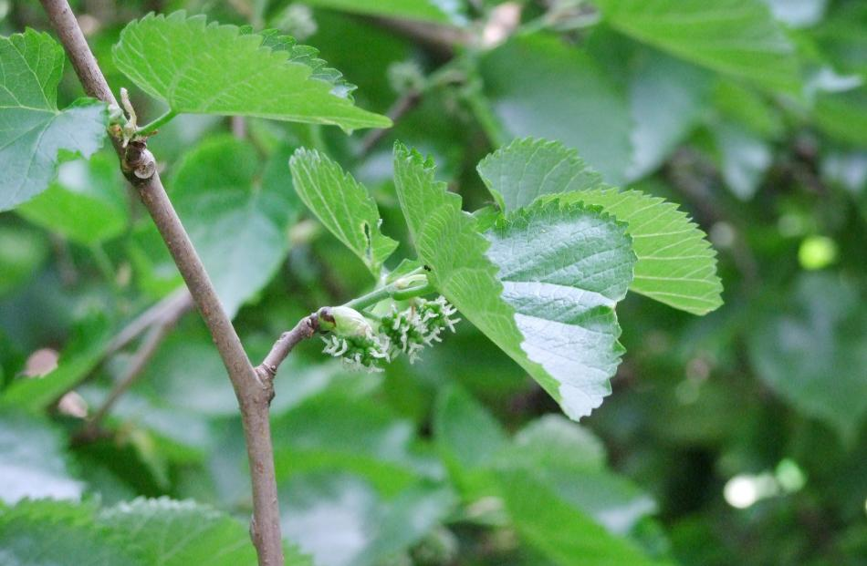 Black mulberry flowers are quite insignificant. Photo: Gillian Vine