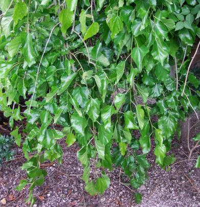 Weeping white mulberry (Morus alba Pendula) grows into a smaller tree that its black cousin....