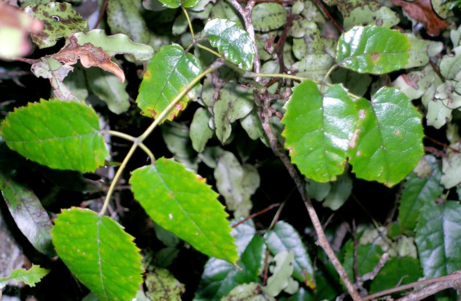 Bush lawyer (Rubus cissoides) has small, blackberry-like fruit and vicious thorns.