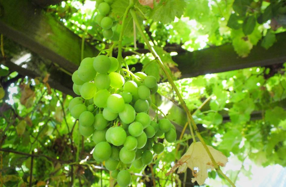 Grapes on a pergola.