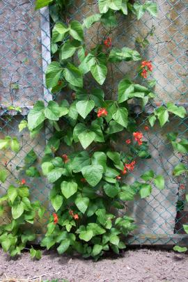 Scarlet Runner beans help hide a fence.