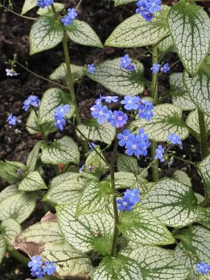 Brunnera Silver Heart looks lovely even when not displaying its sky-blue flowers.