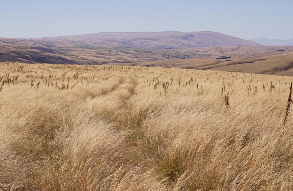 Spear grasses and tussock on the track to Eldorado.