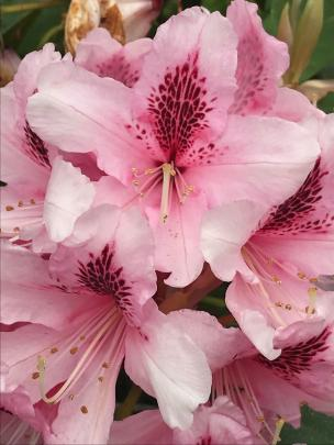 Mrs G.W. Leak has long been a favourite rhododendron among Dunedin gardeners, including those who...