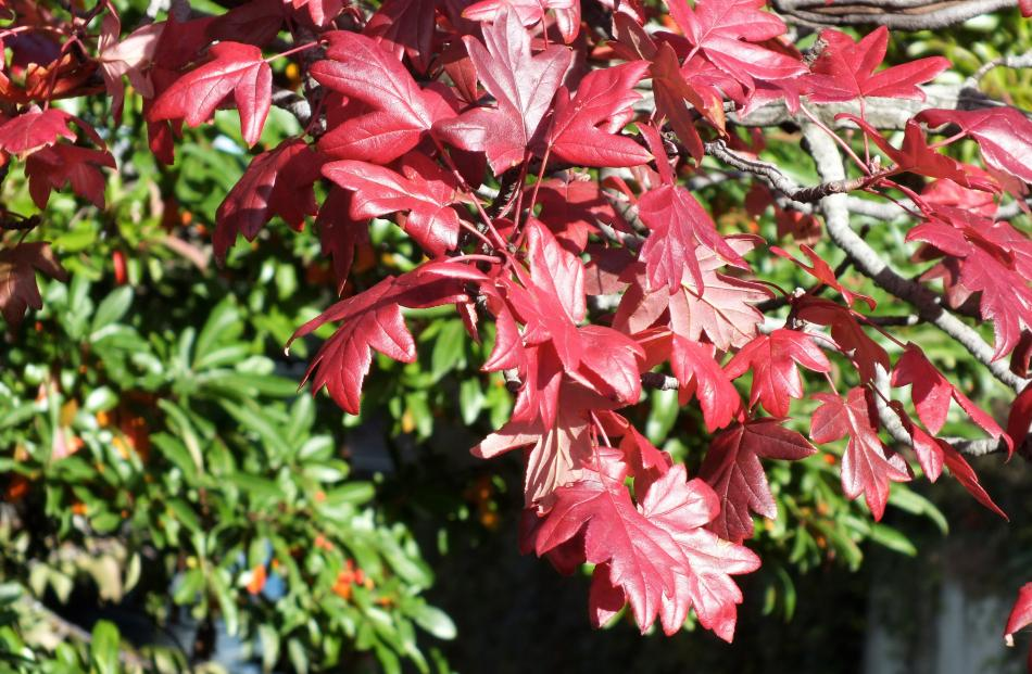 This unusual hawthorn of an unknown species has superb autumn foliage.