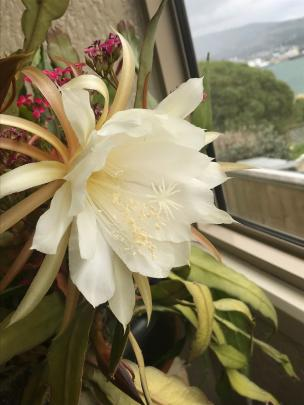 A Dunedin reader's Queen of the Night cactus (epiphyllum oxypetalum) produced more than 50...