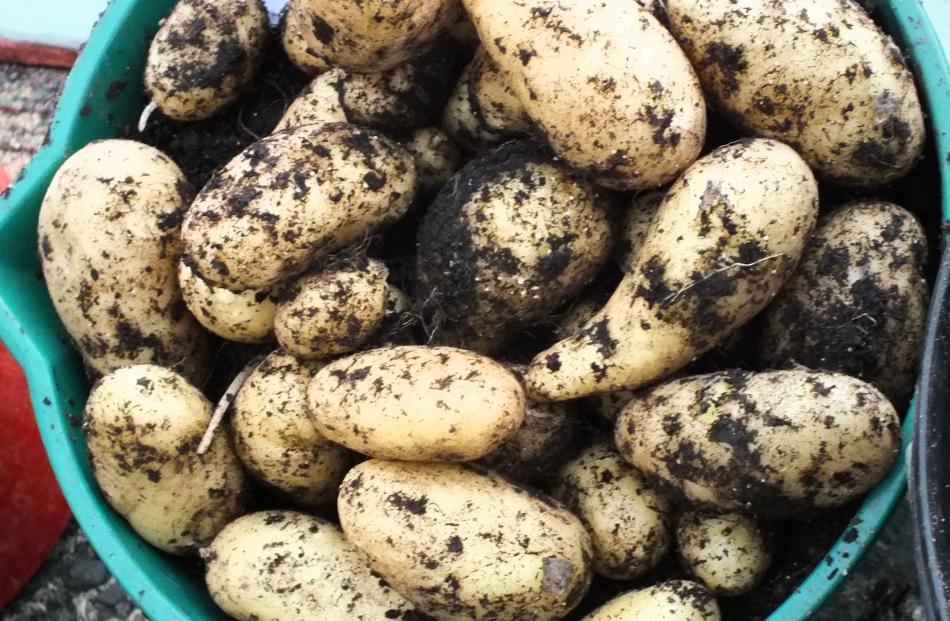 Elizabeth Whitcombe's winning Lisette potatoes. Photo: Gillian Vine