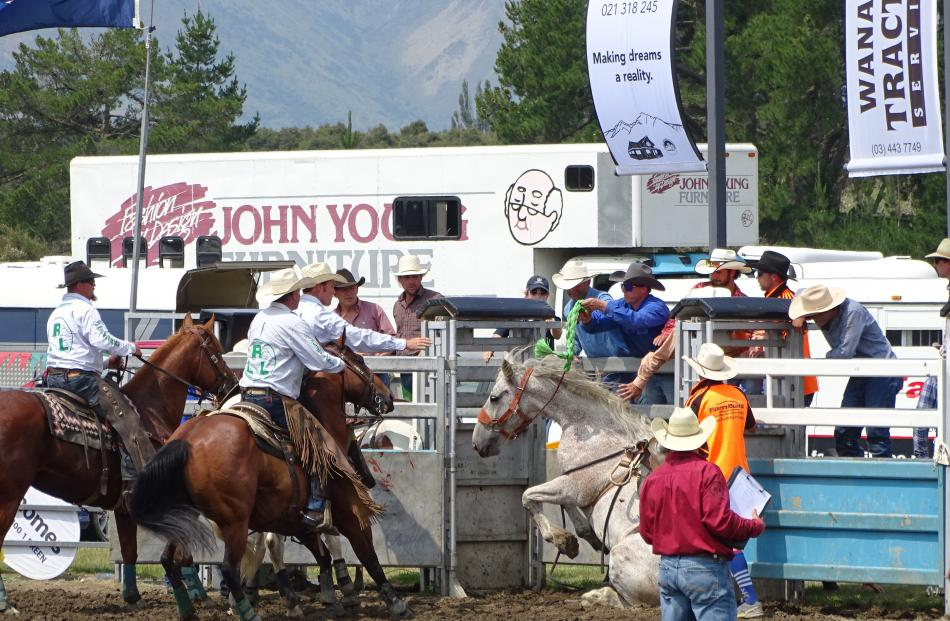 This horse got himself excused from the open saddle bronc for misbehaving.