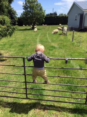 Jack Pollard (15 months) is intent on getting close to the sheep for his first time on his great-grandfather Jack Hillis' farm in Edendale, Southland. Photo: Cory Pollard