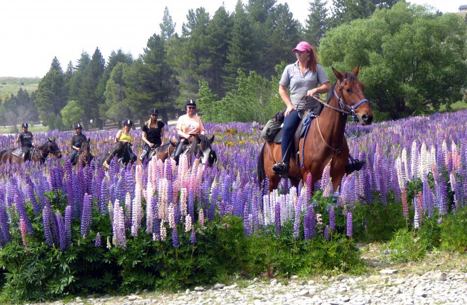 A group goes horse trekking through the lupins at Lake Tekapo in late November. Photo: Elsie Keast