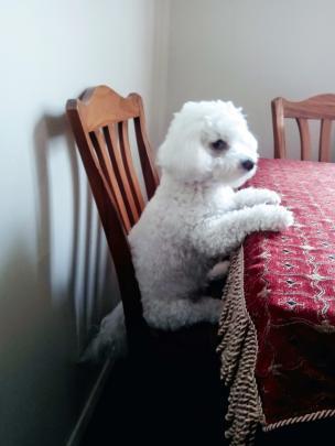 CJ waits patiently for his tea on Sunday, January 12. Photo: Savannah Hale