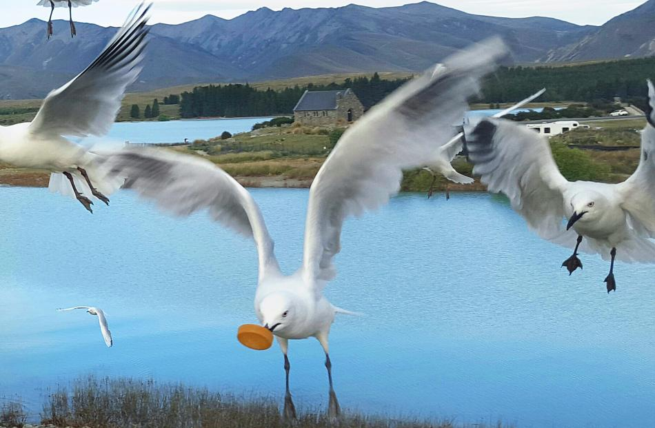 Dozens of gulls drop in for tea beside Lake Tekapo, one making off with the cap from one of the human picnickers' drink bottles. Photo: Alison Newall