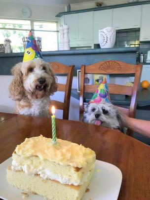 Maltese-cross Benji eagerly awaits his first birthday treat accompanied by his cousin, spoodle...