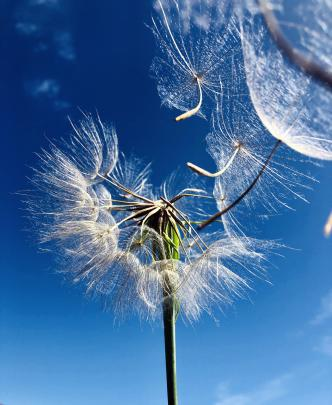 Dandelion seeds become airborne in Cromwell. Photo: Andrew McNeill