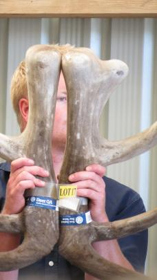 Netherdale Red Deer Stud worker Ben Fraser, of Balfour, holds up antler from one of the stags on...