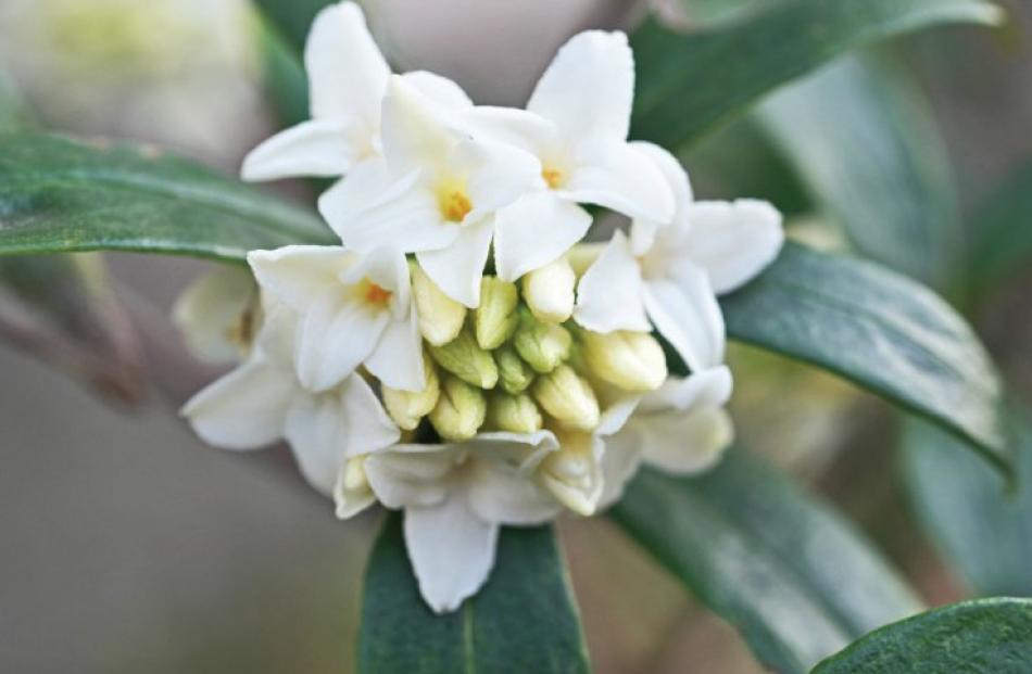 The pure white flowers of Daphne odora 'Leucanthe Alba' are lemon-scented.