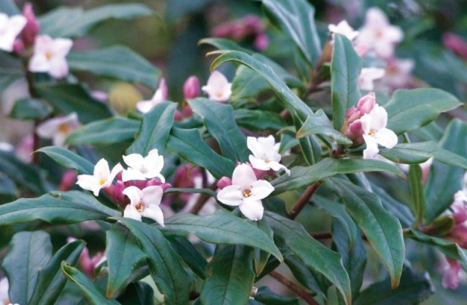 Flowering over a long period of time, the sweetly-scented flowers of Daphne Bhoula begin...