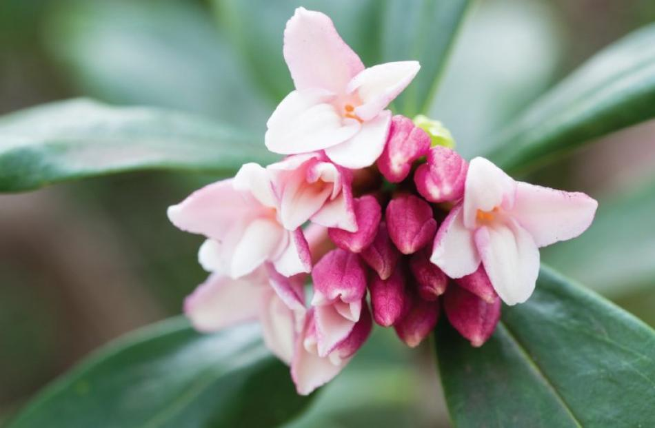In the process of bursting open, these daphne buds are about ready to be picked for inside...