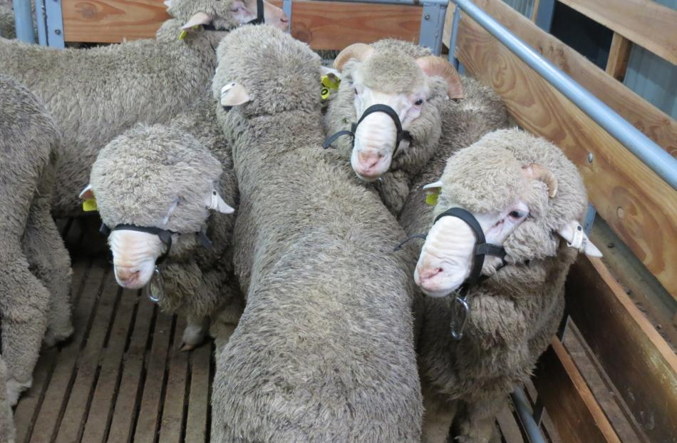 Commercial rams wait for scrutiny during Earnscleugh Station's sale last week.