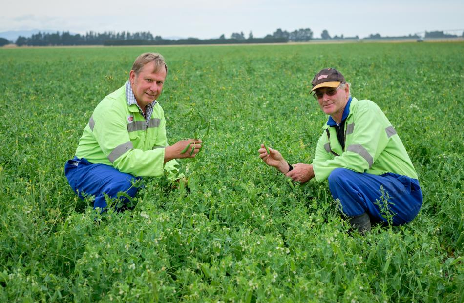 Greg Noller and Watties agronomist Simon McCormick check that Maw peas have reached optimum...