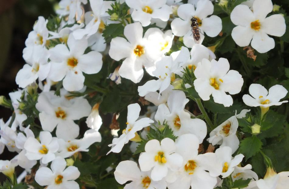 Carolyn likes white highlights, such as this Bacopa.