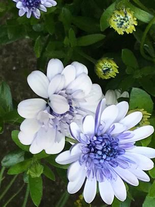 Osteospermum Silver fits well into the largely pastel colour scheme.
