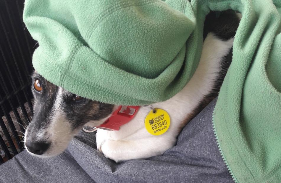 Pippa the Jack Russell relaxes after walking the streets of Weston. PHOTO: ANNIE KRUSKOPF