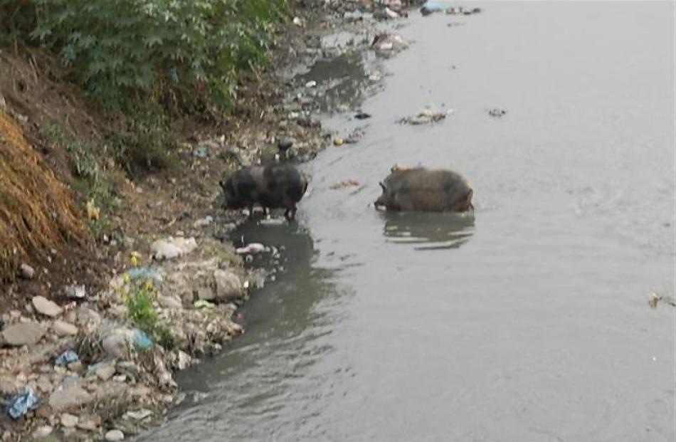 Fat pigs in Kathmandu.