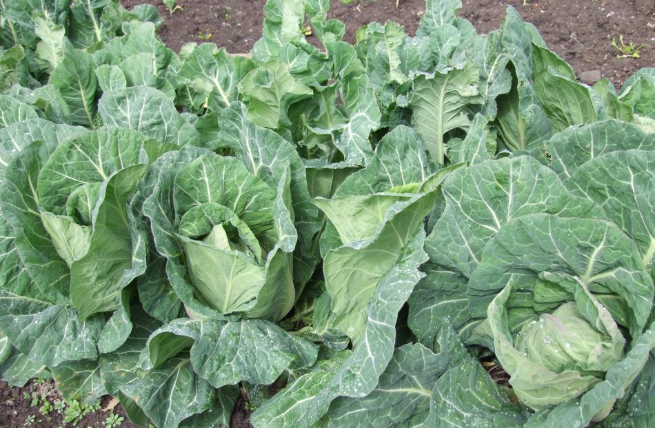 Cabbages and cauliflower plants will stand over winter and be ready in spring.