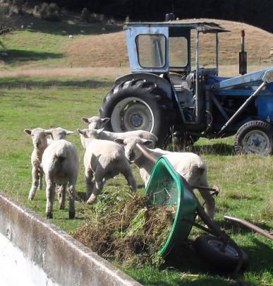 Sheep upset a gardener's wheelbarrow near Palmerston. PHOTO: BARBARA JOPSON