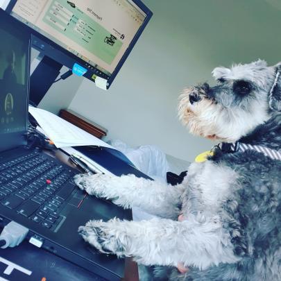Working from home . . . Miniature schnauzer Austin on keyboards in Dunedin. PHOTO: Nikita Thompson
