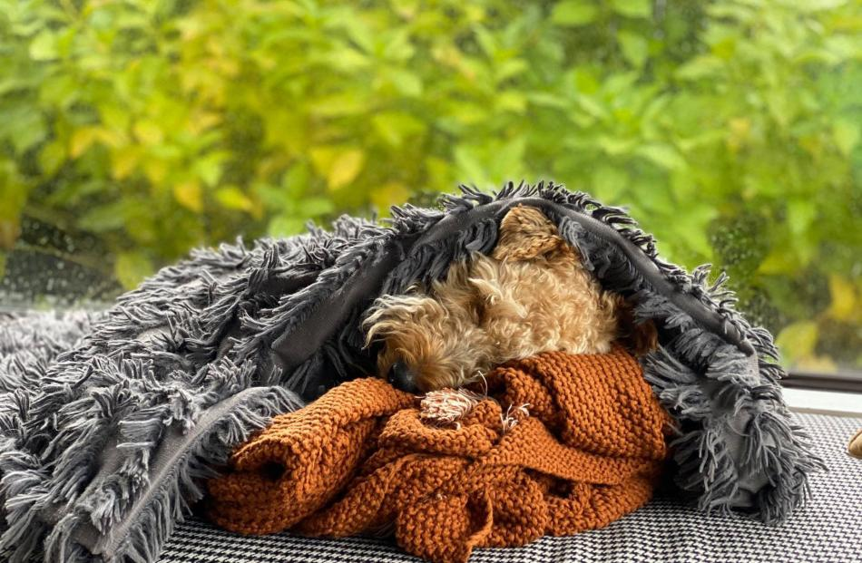 Dog tired . . . Welsh terrier Enzo snoozes in the wintery morning sun in his Belleknowes bubble....