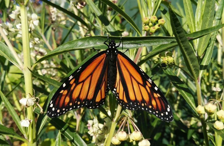 Open wings . . . A monarch butterfly alights on a leaf in Fairfield PHOTO: Alison McHardy-Caldwell