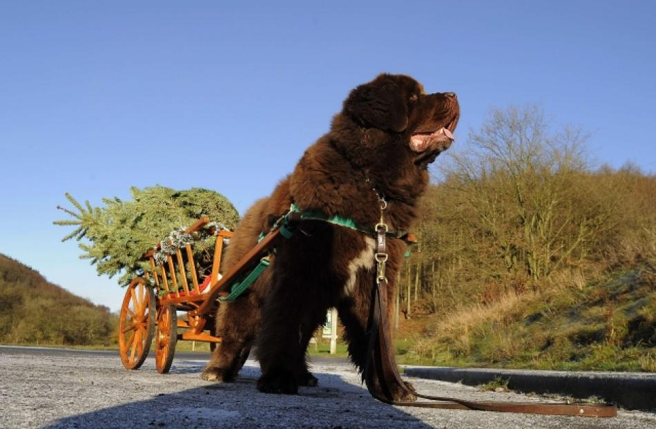 Dylan, a Newfoundland dog, pulls Christmas trees from the forest to a customer's car at Dalby,...