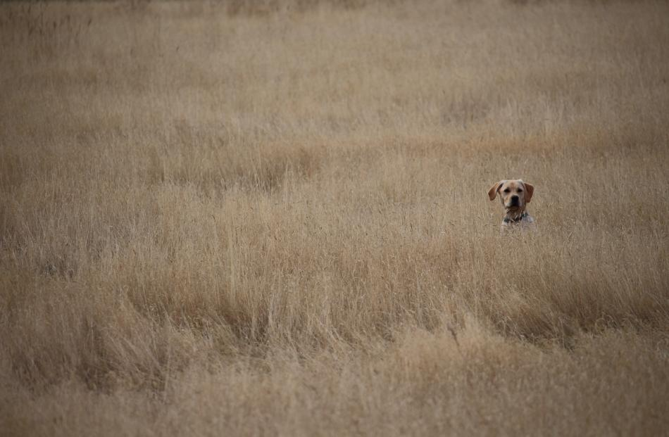 Pipi (5 months) blends into the long grass at Jardine Park, Queenstown. PHOTO: BRIGIT VAN DER...