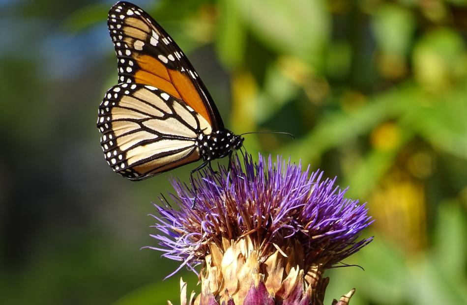 A monarch butterfly in the Dunedin Botanic Garden.PHOTO: ANDREA ASS