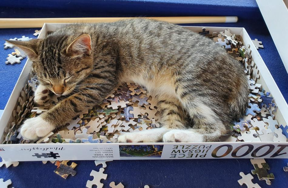 This lucky Stirling kitten has the puzzle sorted. PHOTO: EMMA KELL