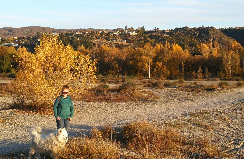 From Alexandra, Ann Wills takes her ''grand-dog'' Archie Bundle for a walk by the Clutha River,...
