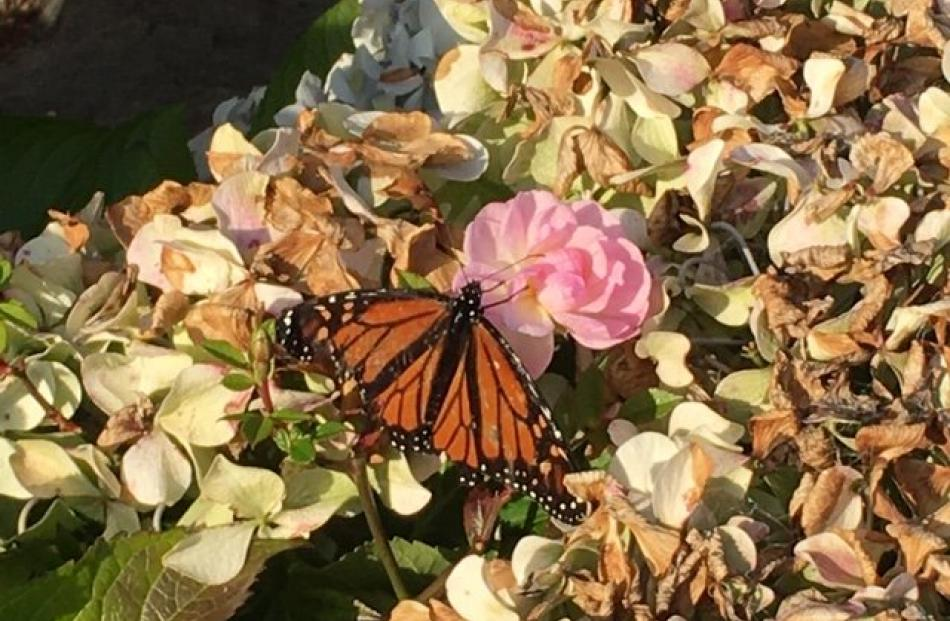 A Monarch butterfly in Musselburgh Rise on Paula Harvey's bubble walk for the day. PHOTO: Paula...