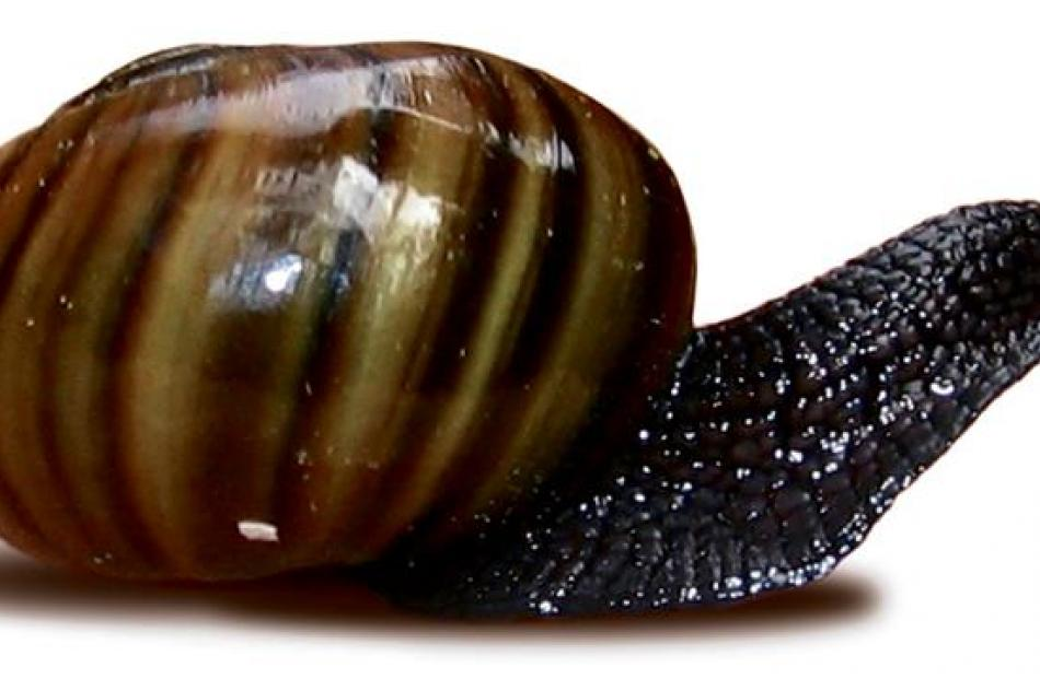 <i>Powelliphanta patrickensis</i>. Photo by Forest and Bird.