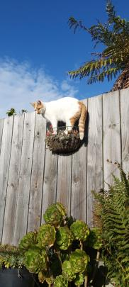 Mince (3), an SPCA cat, enjoys causing chaos. PHOTO: MICHELLE CLEAVER