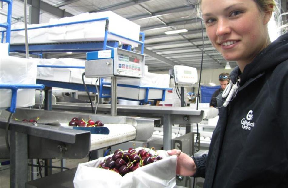 Once the cherries have been graded they are sent along a conveyor belt to where staff such as...