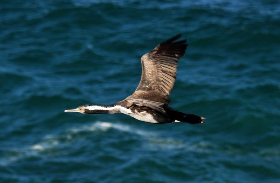 leon_spotted_shag__flying_jpg_4ef26ba700.JPG